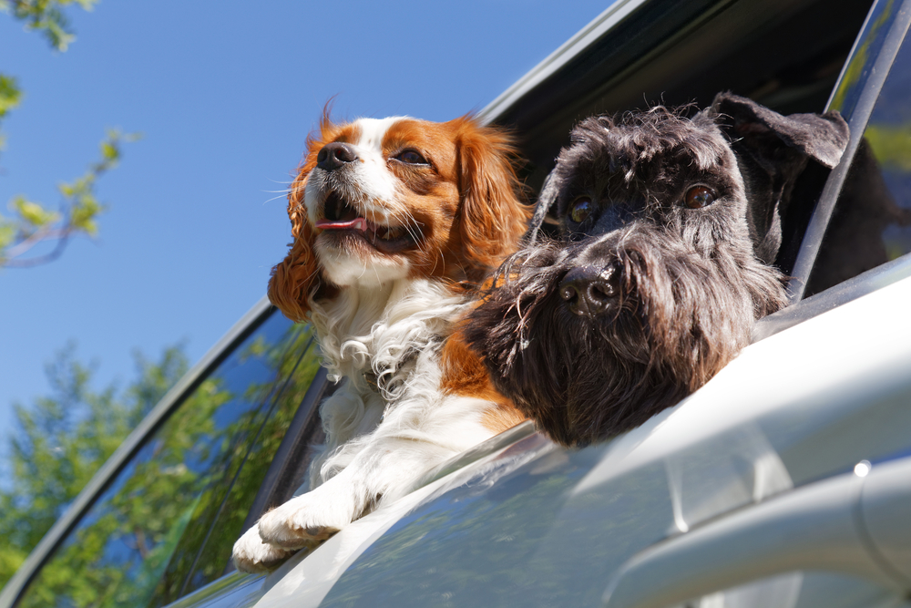 Two dogs in car after getting their pet passports