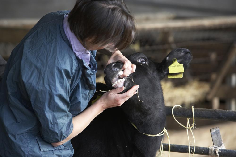 Seaview Vet examining cow