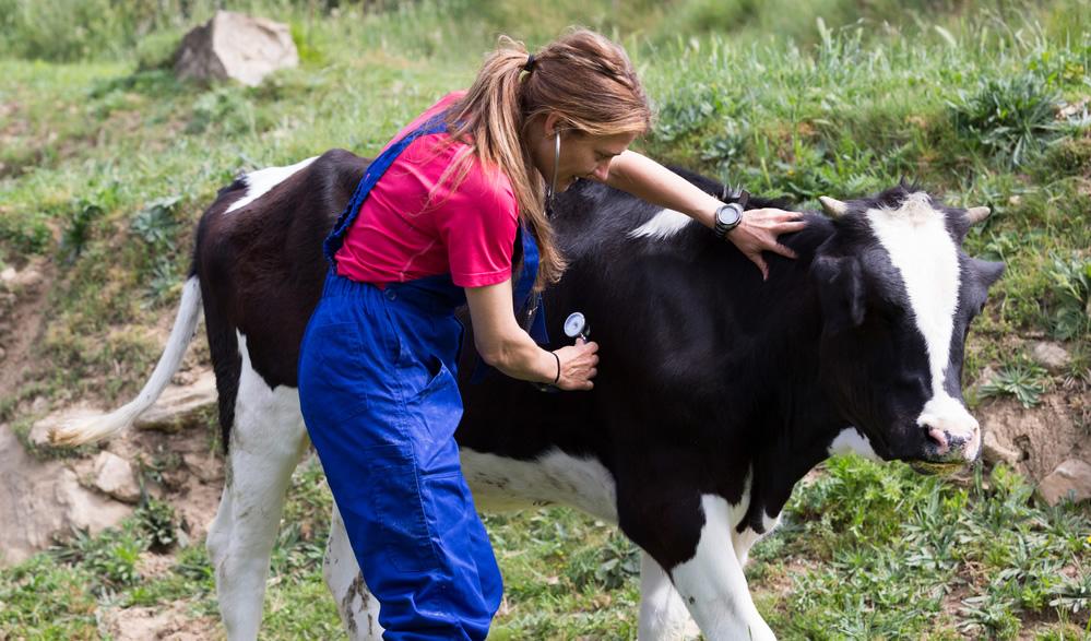 Vet with calf